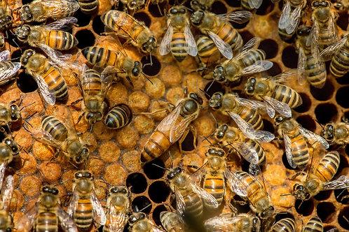 Przezimowane rodziny pszczele