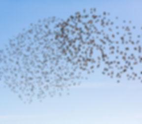 Flock of birds .jpg