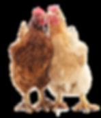 Hühner.png