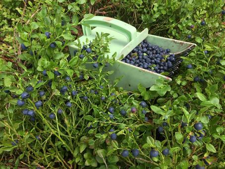 I år er det blåbærår