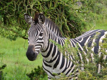 På safari i Uganda - Lake Mburo