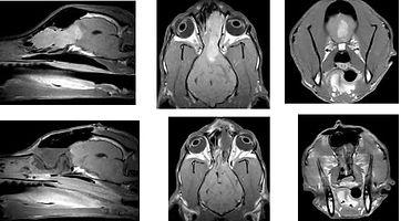 犬の脳腫瘍
