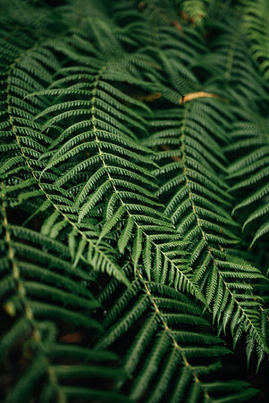 liści paproci