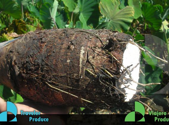 Veracruz-Mexican-Malanga-grower-producer