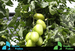 Roma-Tomato-grower-supply-McAllen-TX-Rom