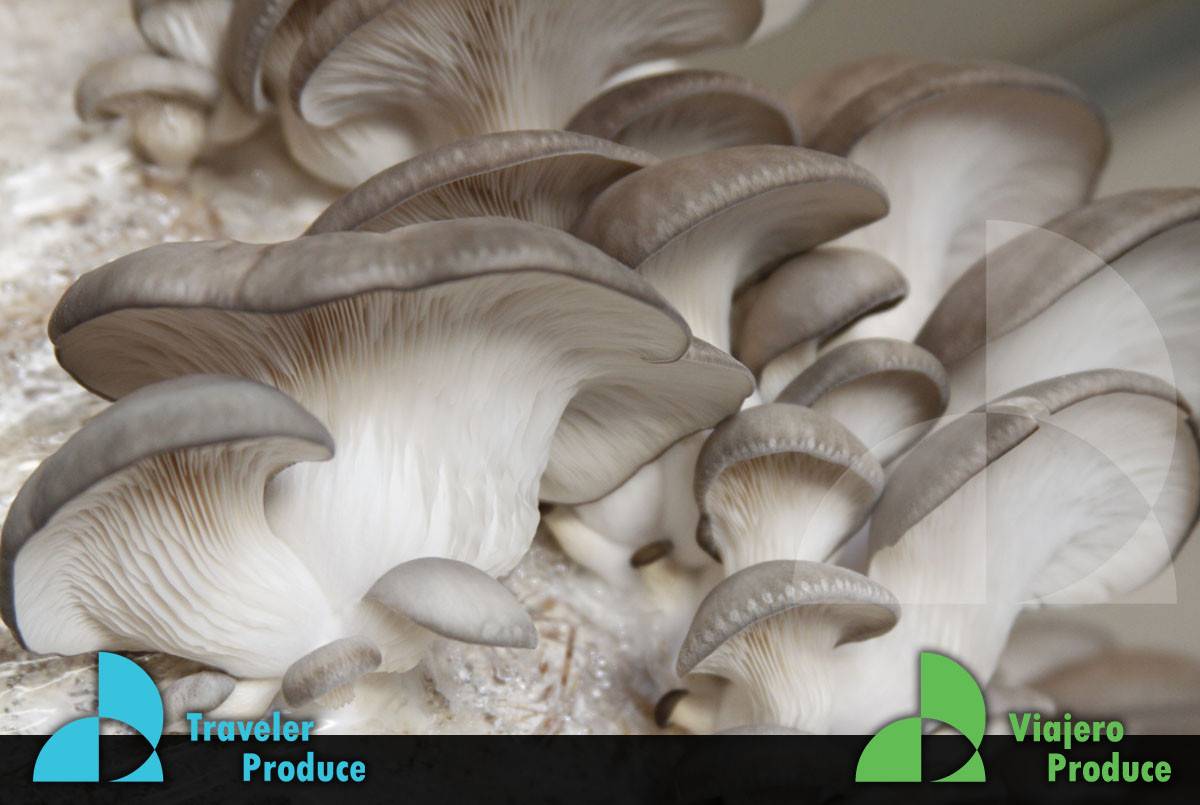Mexican-Oyster-Mushroom-production-growe
