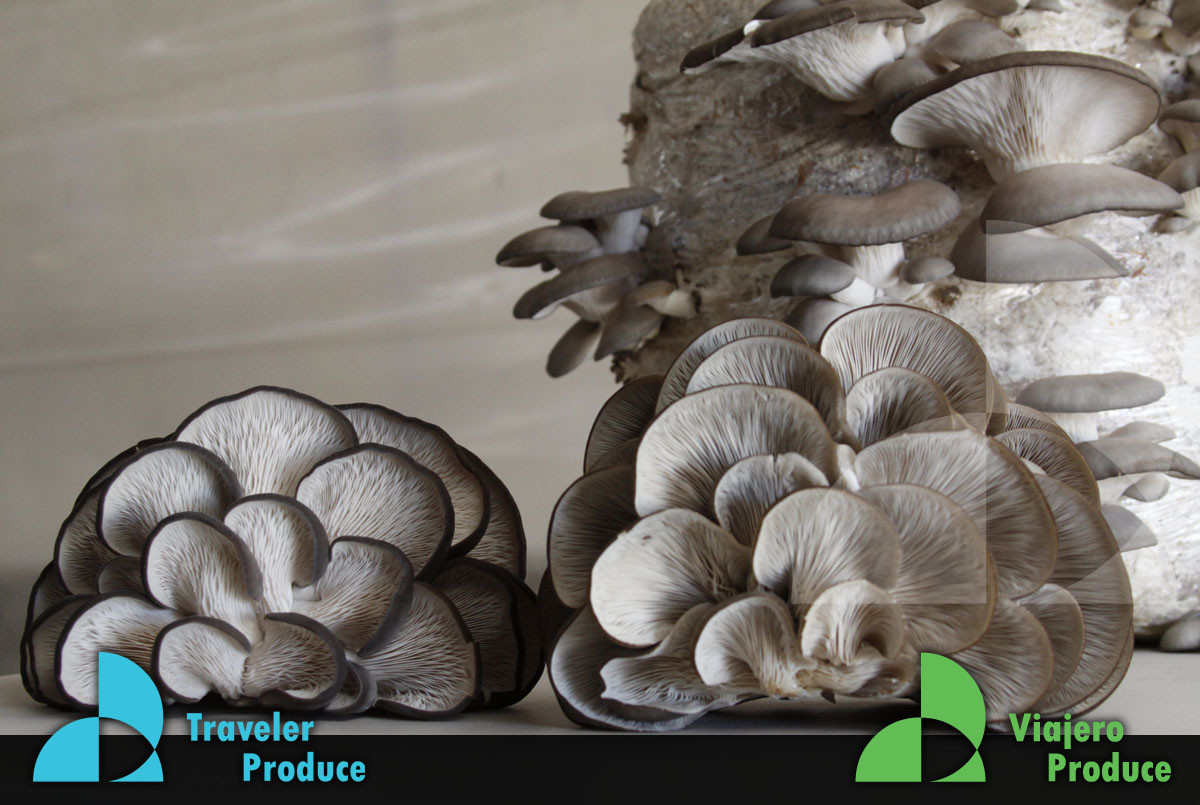 Mexican-Mushroom-retail-supply-wholesale