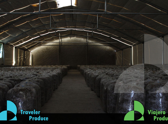 Growers-Greenhouses-Oyster-Mushroom-Mexi