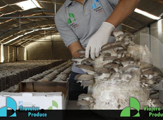 Growersand-suppliers-of-oyster-mushroom-