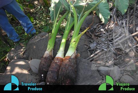 Malanga-growing-in-Mexico-Malanga-coco-f