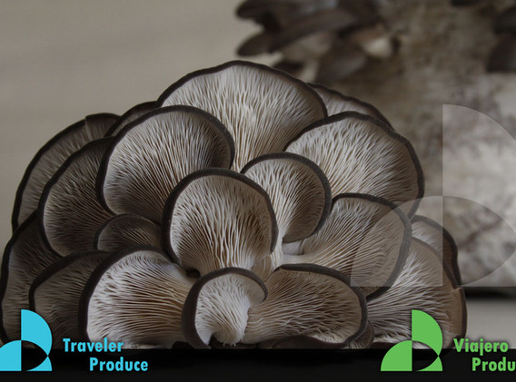 Oyster-mushroom-Mexican-supplierto-the-U