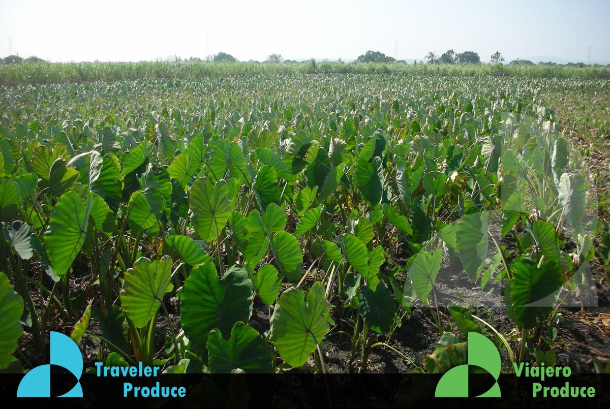Growers-in-Veracruz-taro-exports-to-the-
