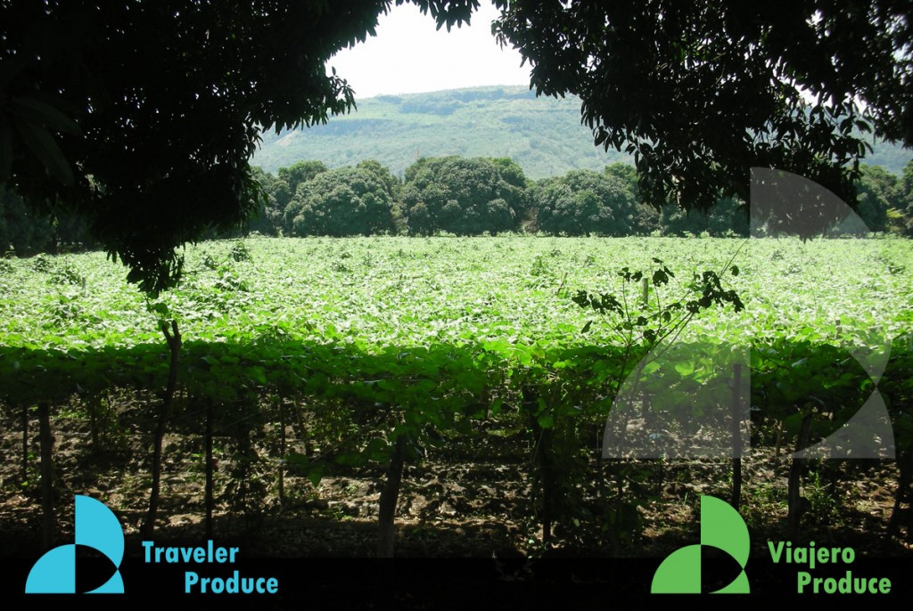 Chayote-Actopan-Veracruz-grower-producer
