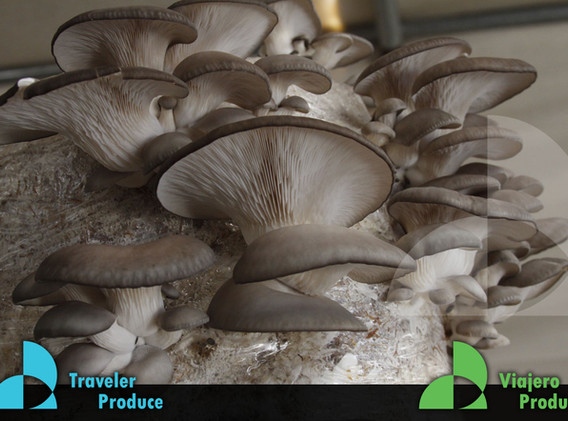 Oyster-Mushroom-growing-in-Mexico-supply