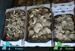 Oyster-Mushroom-distribution-in-the-US-I