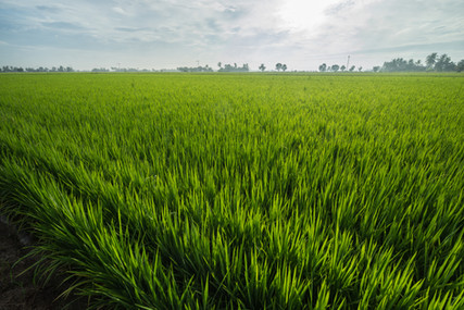 Green rice fields in Sungai Besar -  well known as one of the major rice supplier in Malay