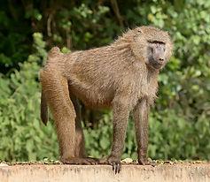 Olive_baboon_Ngorongoro.jpg