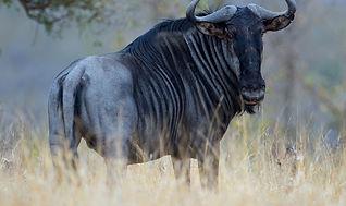 blue wildebeest.jpg