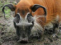red-river-hog-03.jpg