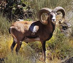 Caza-Hispanica-Mouflon-2.jpg