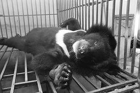 Sedated Bear.jpg
