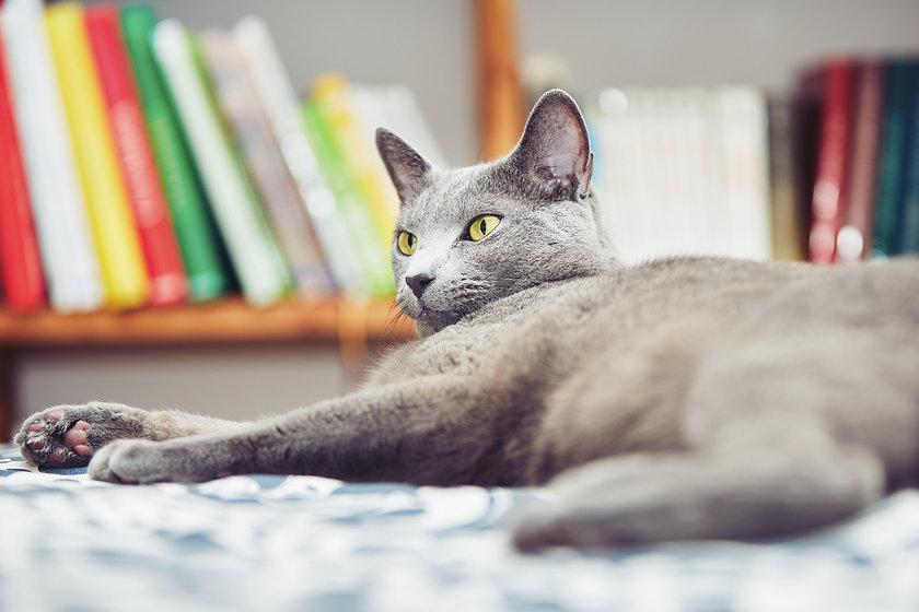 russian-blue-cat-PFPQJE5.jpg