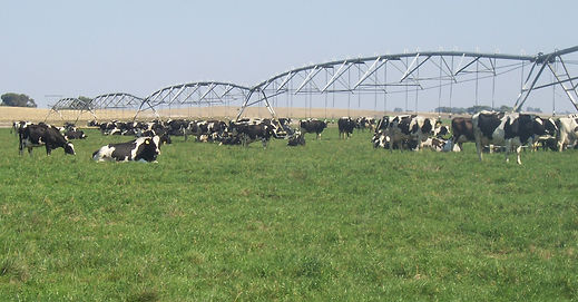 Dairy cows in the paddock with green grass and a centre pivot