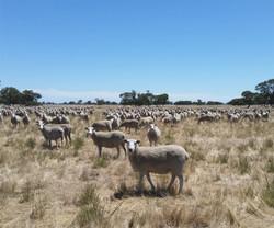 FBDF-Front-3_ Sheep Paddock