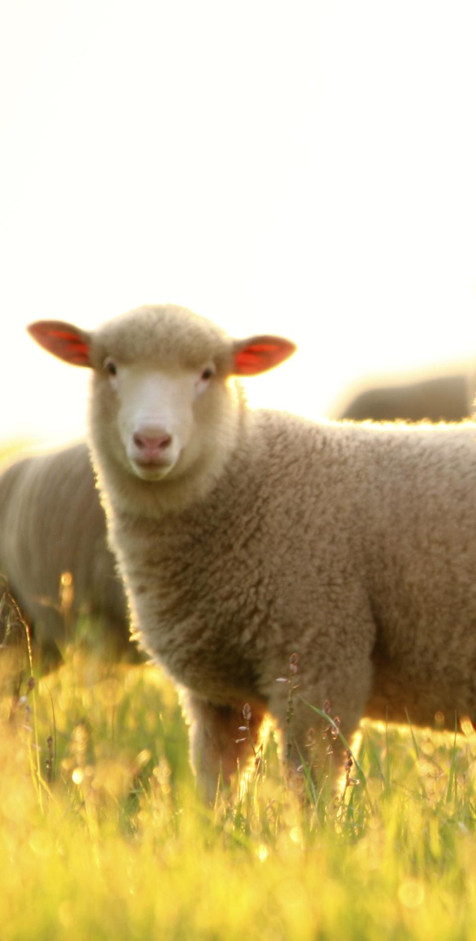 iStock_000008998511Large - lamb