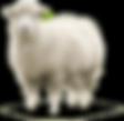 QURBAN SHEEP.png
