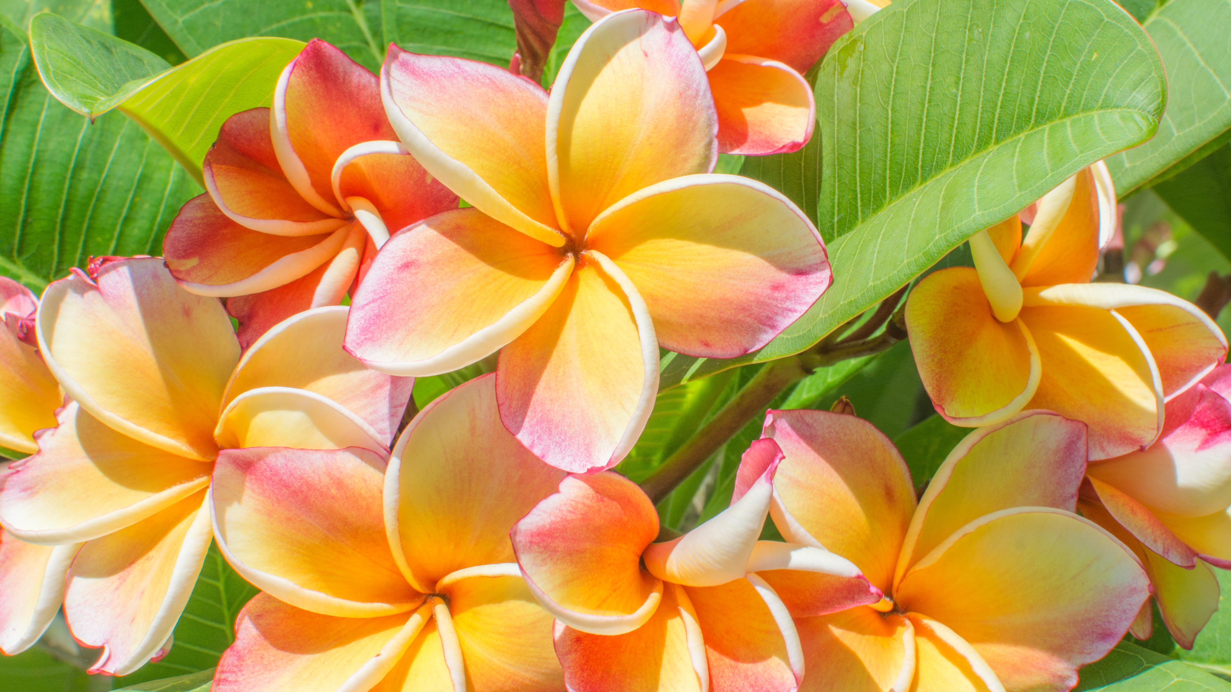 Closeup colorful Frangipani Flowers. Exo
