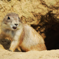 Prairie dogs win major victory in court