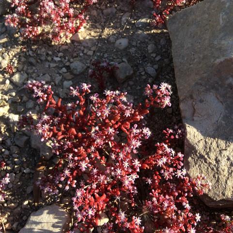 una pianta lanzagalla