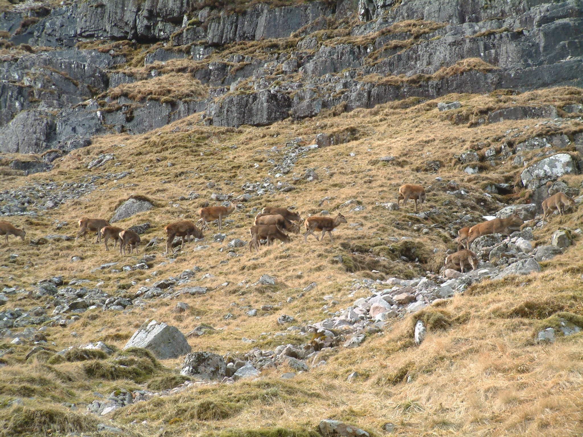 Deer in Hidden Valley, Glencoe