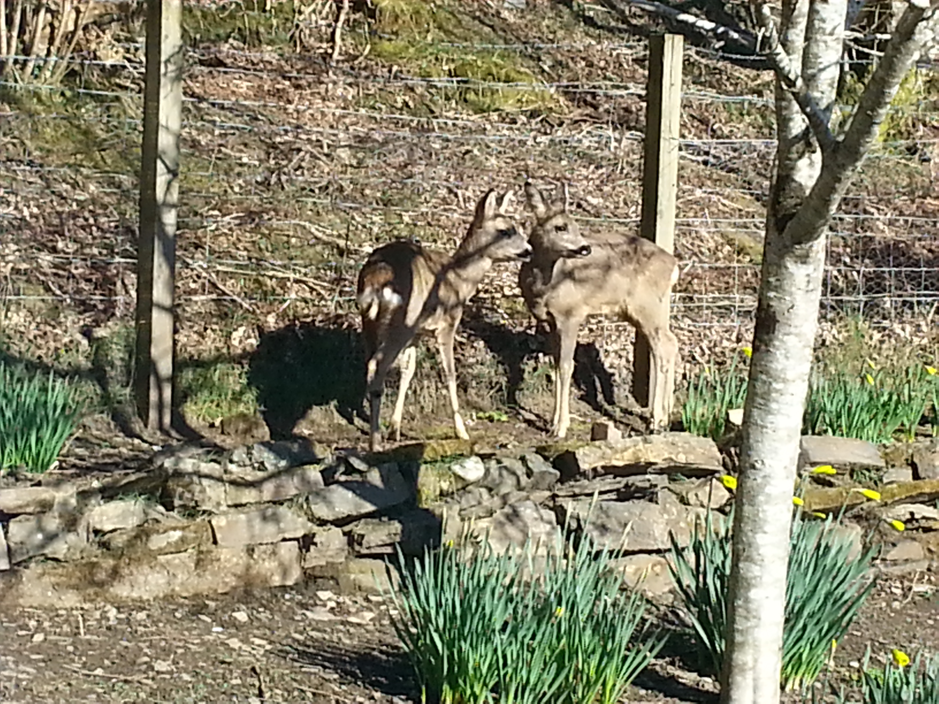 Roe deer in our garden