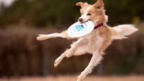 フリスビーの日本チャンピオン犬