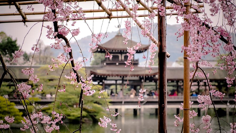 Eine Zierkirsche im Garten des Heian Schreins in Kyoto