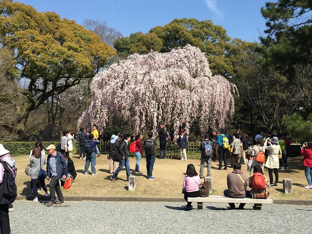 Kirschbaum im Kaiserpalast Park Kyoto