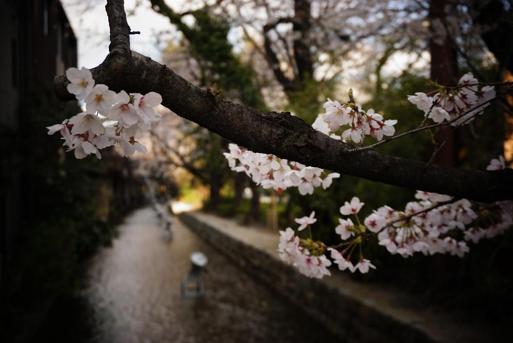 Kirschblüten an der Kiyamachi Strasse in Kyoto
