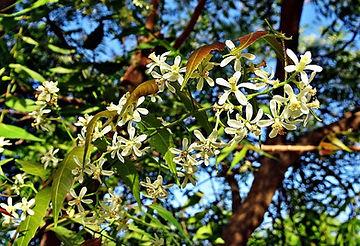 neem flower-2205653_sarangib.jpg