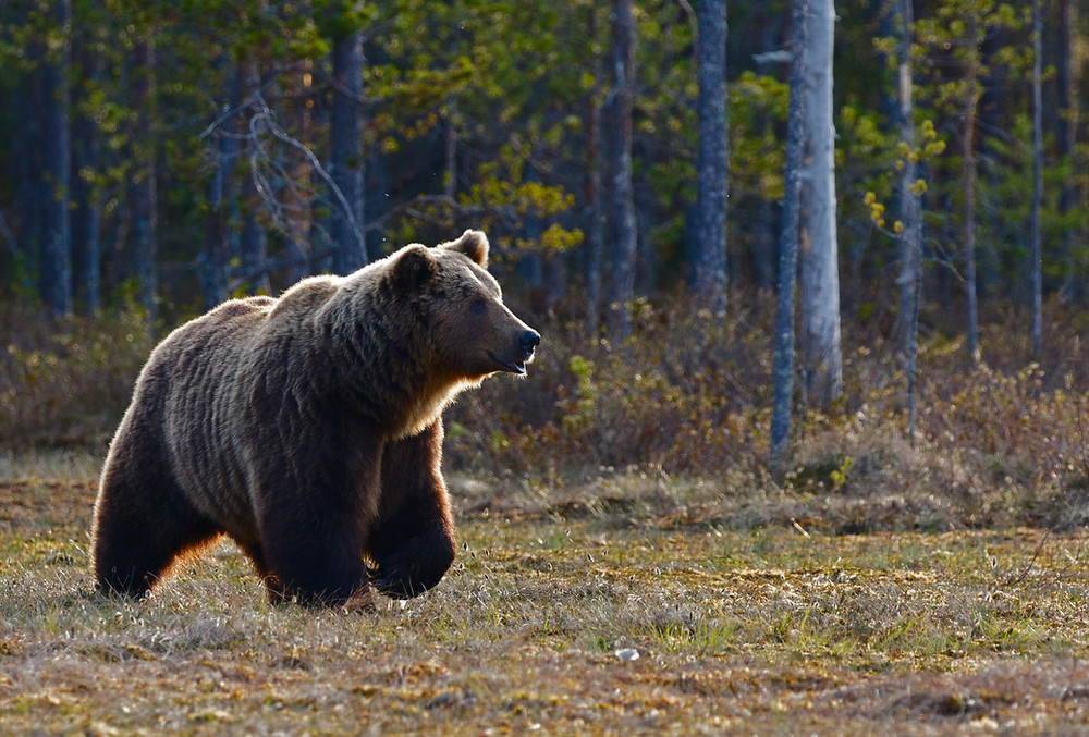 Brown bear coming out of wooded area