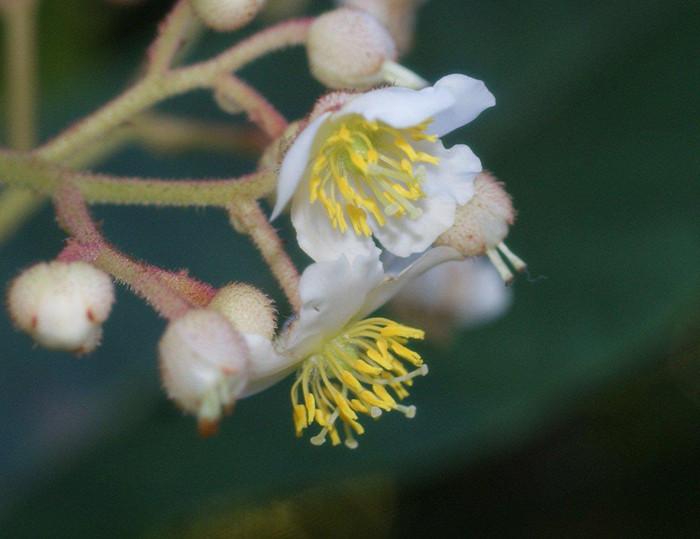 Saurauia madrensis 2.jpg