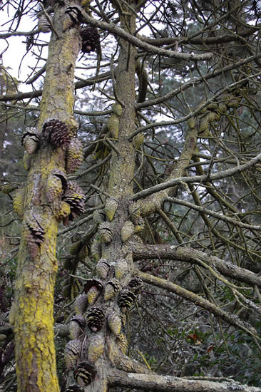 Pinus radiata 4.jpg