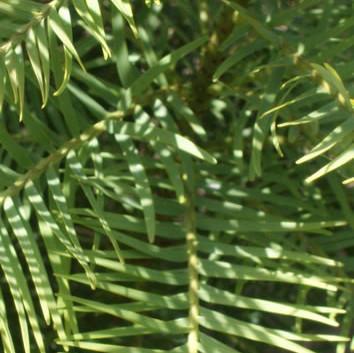 Wollemia nobilis 2.jpg