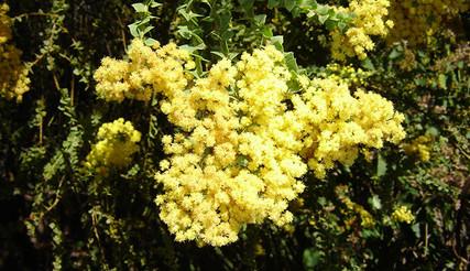 Acacia pravissima 3.jpg