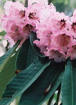 Rhododendron 4.jpg