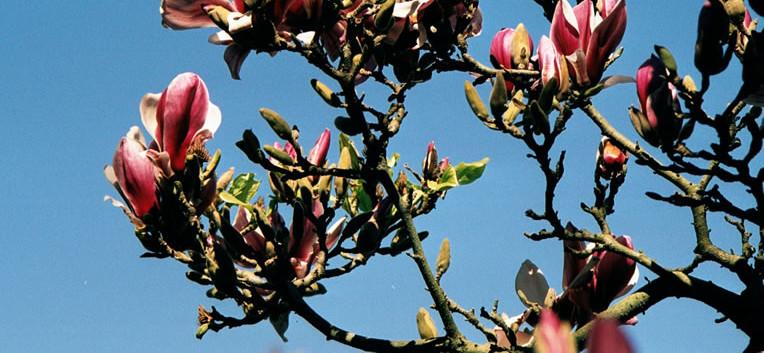 Magnolia x soulangeana 2.jpg