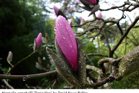 Magnolia campbellii 'Darjeeling' 1.jpg