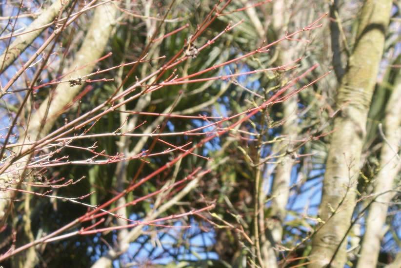 Acer palmatum 4.jpg