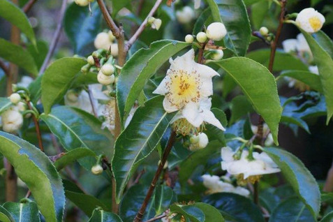 Camellia sinensis 4.jpg